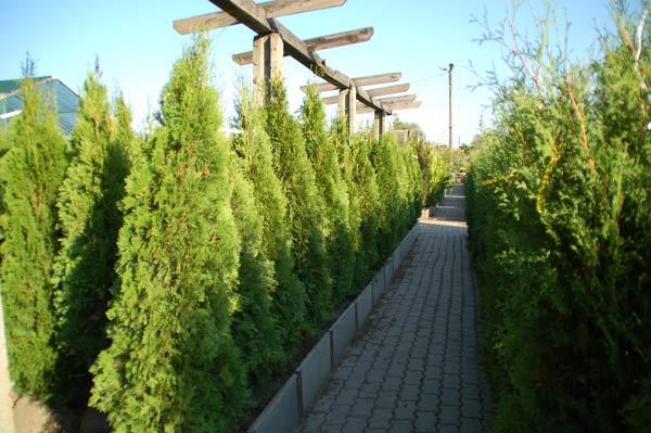 Viris kertészet, faiskolai kis- és nagykereskedés - kert építés tervezés növénydekoráció, dísznövények kölcsönzés