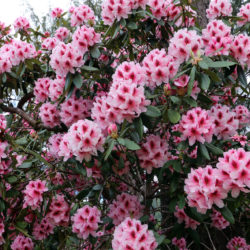 Rhododendronok és kerti azáleák