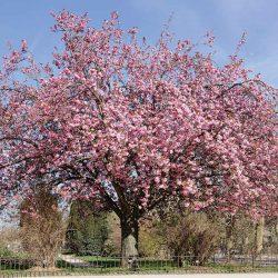 Lombos fák, díszfák, lombhullató különlegességek