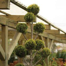 Örökzöld formafák