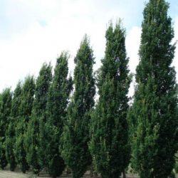 Oszlopos fák